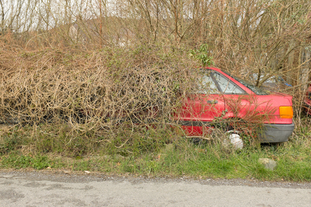 The rear end of a red car, automobile, shows through a hedge, bushes.