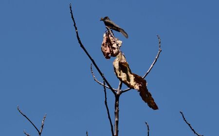 Dead leaves and branches are juxtaposed against a clear blue sky, while a black phoebe bird is ready to devour its prey while perched atop what remains of this tree.