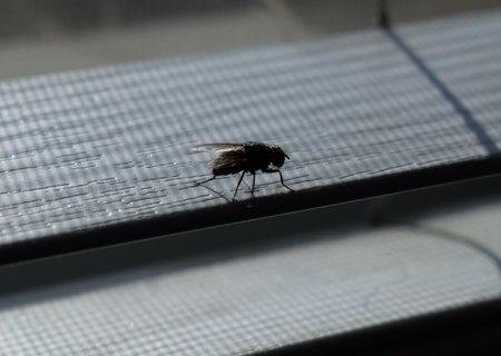 This small housefly is perched on one of the window blinds at home.