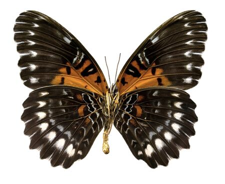 obscura: Butterfly Cethosia obscura antippe  Clipping path
