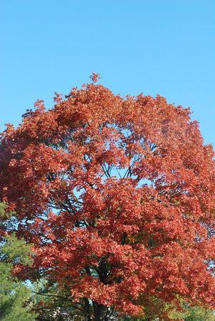 sugar maple: Sugar Maple tree in Fall colors