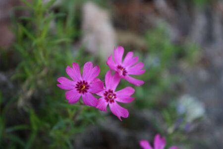 Mountain Pink Stock Photo