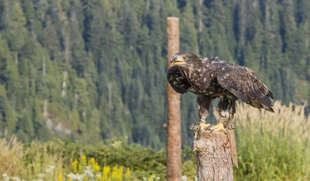 An american bald eagle on its perch, ready to take off