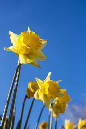 Low angle shot of yellow daffodils against a blue sky background