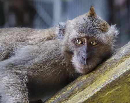 looking away from camera: Macaque monkey laying down, looking away from the camera Stock Photo