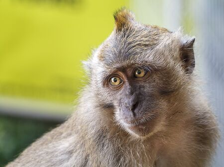 Wild Macaque Monkey