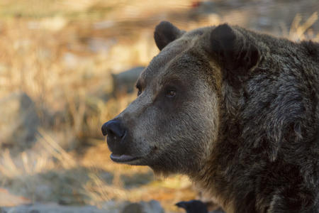 Bear Head Shot Close Up