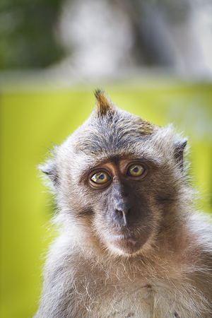 Wild Macaque Monkey Portrait Stock Photo