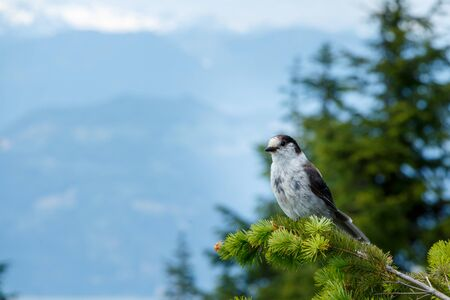 The Grey Jay is a large songbird found in the boreal forests of North America Stock Photo