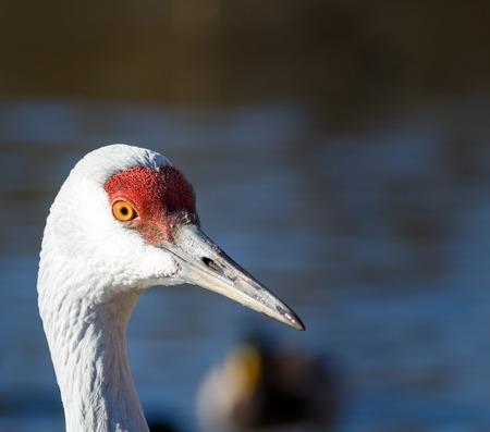 Sandhill crane large white bird portrait picture