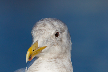 Close up detailed portrait of a seagull
