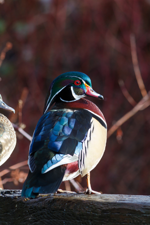 Colourful Wood Duck Sitting on a Log