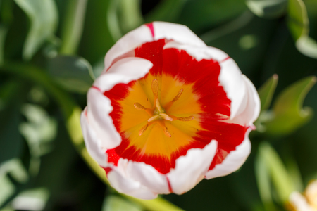 Red, White and Yellow Spring Tulip Flower