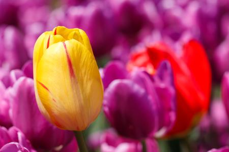Close up Yellow Tulip Flower Purple Background