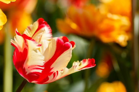 Red and Yellow Featherd Parrot Tulip Flower