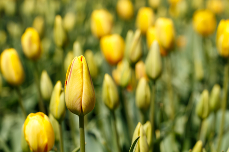 Multiple Unbloomed Yellow Spring Tulip Flowers Close Up