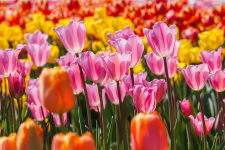 Many Pink Tulip Flowers in a Field of other Tulips Reklamní fotografie