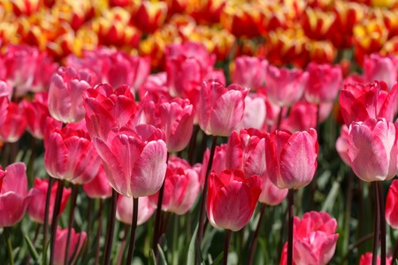 Mutliple Flaming Purissima Pink Spring Tulip Flowers Reklamní fotografie