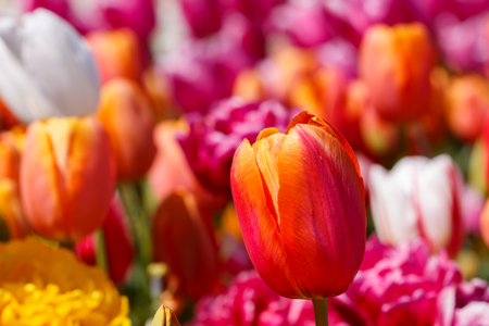 Orange Red and Pink Spring Tulip Flower