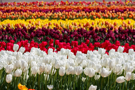 Rows of Different Coloured Tulip Flowers in a field