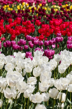 Multiple Pretty Pink Red Maroon Spring Tulip Flowers in a Field