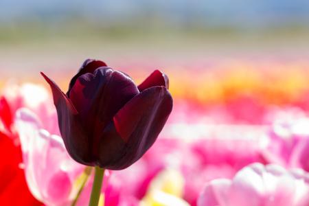 Queen of the Night Tulip Flower Maroon Reklamní fotografie