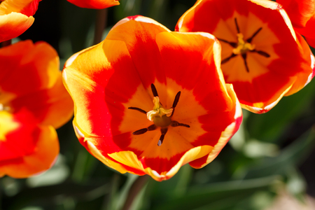 Pretty Orange and Red Spring Tulip Flower Close Up Reklamní fotografie
