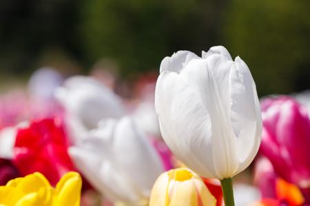 Pretty White Spring Tulip Flower Close Up In a Field