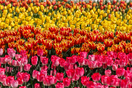 Multiple Rows of Pink Orange and Yellow Spring Tulip Flowers Reklamní fotografie