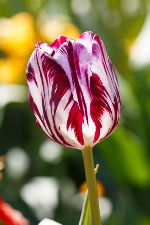 Close up Purple Prince Species Spring Tulip Flower