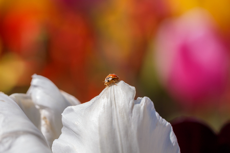 Ladybug Perched on a White Flower Petal Close Up