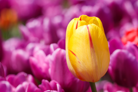 Close up Yellow Tulip Flower with Purple Background