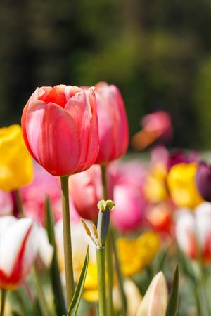 Pink Spring Tulip Flower Close Up Colourful Background Reklamní fotografie