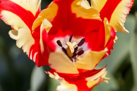 Red and Yellow Featherd Parrot Spring Tulip Flower