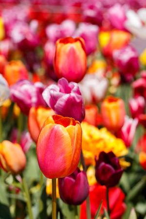 Orange Red and Pink Spring Tulip Flower Close Up Colourful Background Reklamní fotografie
