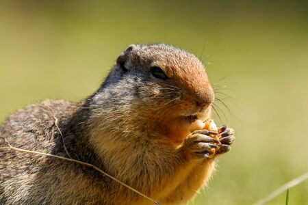 Colombian ground squirrel holding and eating food Stok Fotoğraf