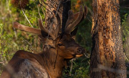 Male Elk with antlers looking at camera