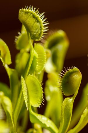 Multiple Venus Fly Traps open, waiting for food