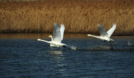 swans: flying swans