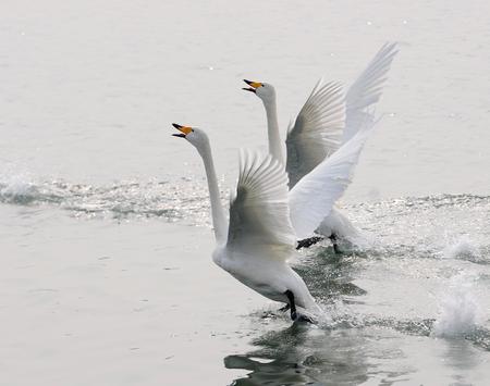 swans: swans on lake