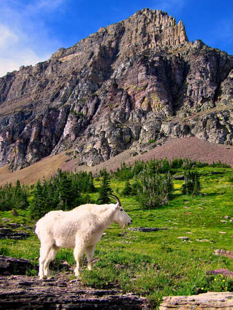 Mountain Goat in Glacier NP Stock Photo