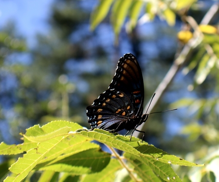 lepidopteran: Title: Butterfly on a Wild Grapevine Usually butterflies are hard to capture,