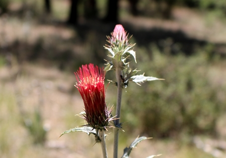 schoolhouse: Title: Thistle Location: Prescott, Arizona. I took this photograph while hiking on the Schoolhouse Gulch trail #67. Technical: JPEG Image 4707 x 3295 pixels 6.33 MB