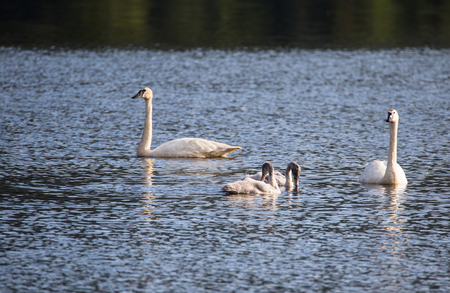cygnet: Swans on the lake. Swans with nestlings.  Swan with chicks. Mute swan family. Stock Photo