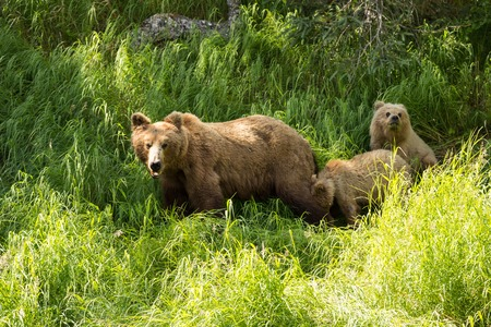 katmai: A grizzly bear cub stands up to get a better look in Katmai National Park, Alaska. Stock Photo