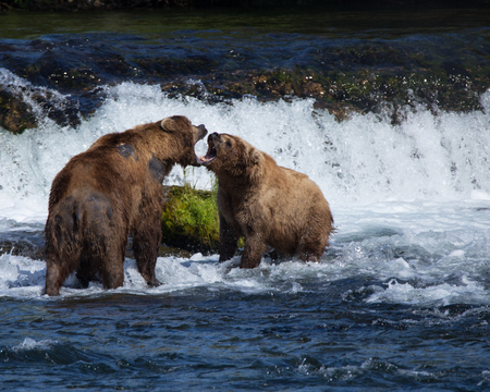 salmon falls: Grizzly Brown Bears Fighting in the Water
