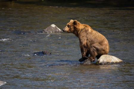 ursus: brown bear on lake Grizzley sits on rock Ursus arctos