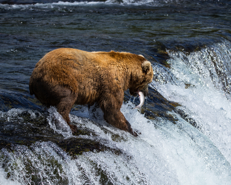salmon falls: Grizly Bears at Katmai National Park, Alaska, USA Brown Bear With salmon
