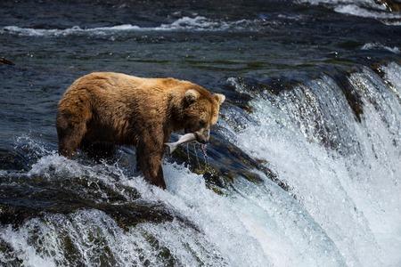 brooks camp: Grizly Bears at Katmai National Park, Alaska, USA Brown Bear With salmon