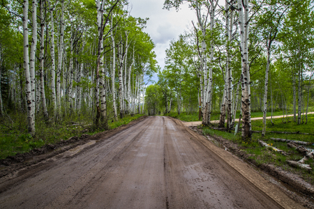 wasatch: Dirt road traveling thourgh aspens in spring